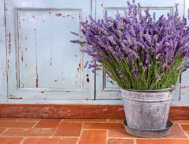 Come coltivare la lavanda in vaso o in giardino